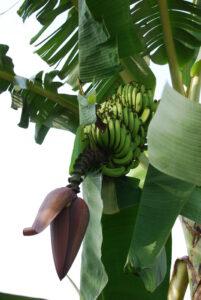 17 die ersten Bananen
